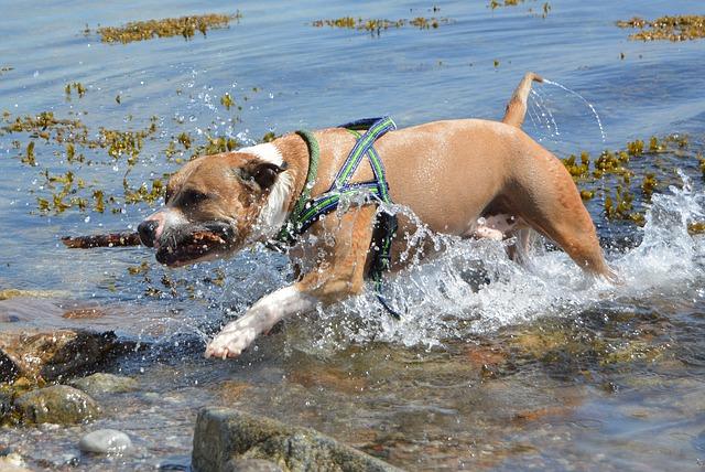 americký stafordšírský pes